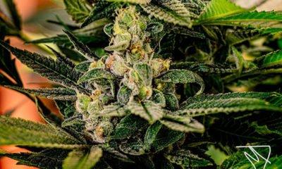 Legal marijuana making its way to Arizona by March