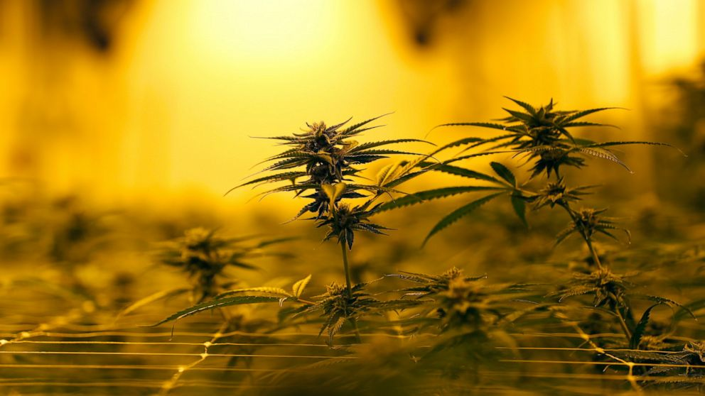 Medical Marijuana Bills Challenge Bible Belt Politics